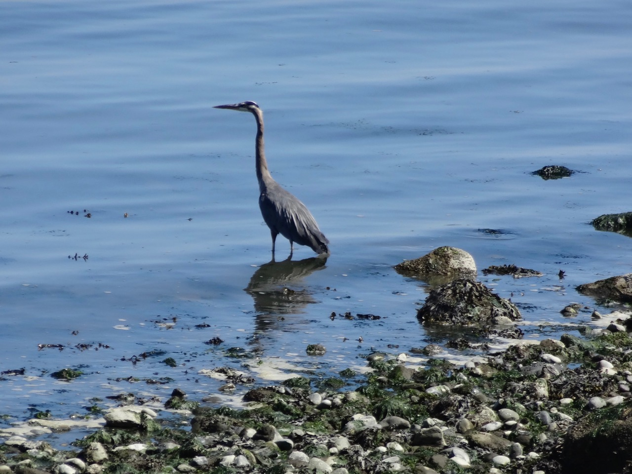 Great Blue Heron fishing in Guemes Channel
