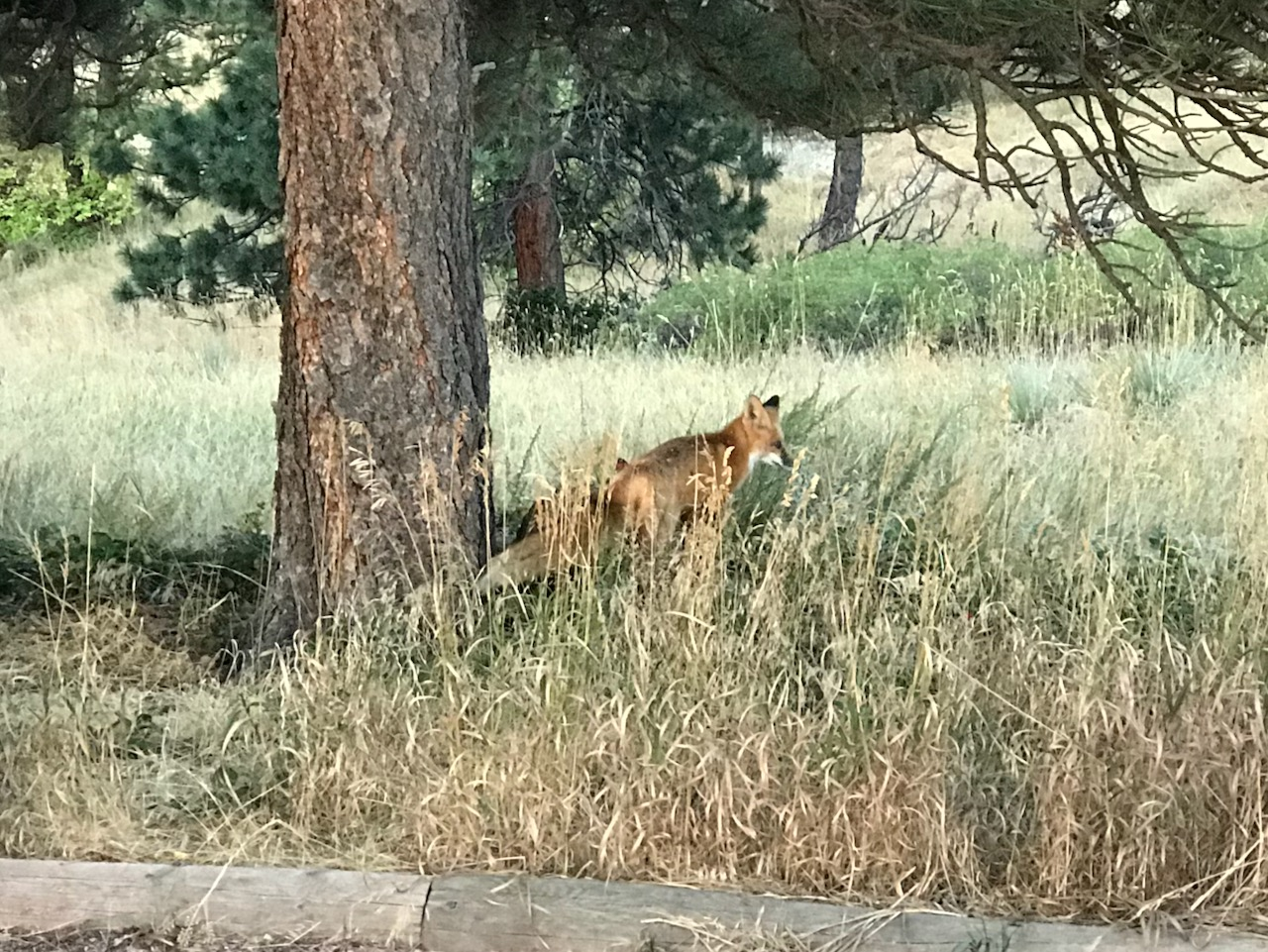 Red fox ambles by